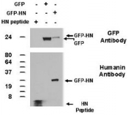 PAB12551 - Humanin