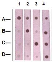 PAB12604 - Catenin beta-1