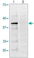PAB12617 - CREB1