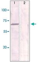 PAB12621 - Estrogen receptor alpha
