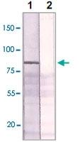 PAB12622 - Estrogen receptor alpha