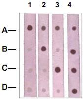 PAB12658 - Catenin beta-1