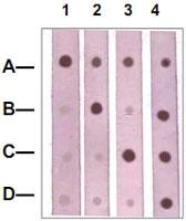 PAB12661 - Catenin beta-1