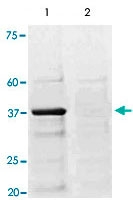 PAB12673 - CREB1
