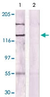 PAB12674 - CD115