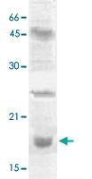 PAB12679 - Histone H3.2