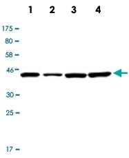 PAB12792 - Actin beta / ACTB