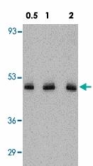 PAB12834 - Fractalkine / CX3CL1