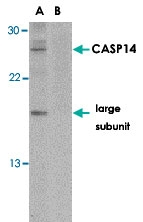 PAB12873 - Caspase-14