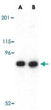 PAB12951 - Cadherin-13