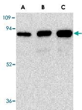 PAB12953 - CD271 / NGFR