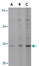 PAB12963 - EDA2R / TNFRSF27