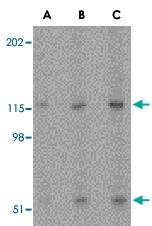 PAB12990 - Neurotrypsin