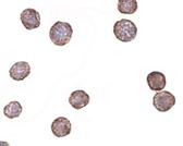 PAB13024 - CD184 / CXCR4