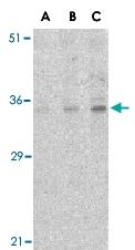 PAB13153 - C1QTNF4