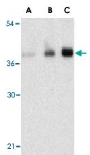 PAB13155 - C1QTNF5