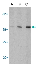 PAB13156 - C1QTNF5