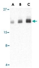 PAB13164 - PTRH2 / BIT1