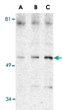 PAB13167 - Beclin-1