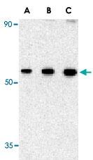 PAB13168 - Beclin-1