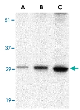 PAB13211 - Bcl-2-like 5