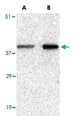 PAB13212 - Bcl-2-like 5