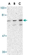 PAB13222 - PTPN11 / PTP2C