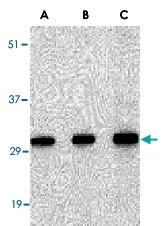 PAB13228 - SNAI2 / SLUG