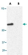 PAB13243 - CD294 / GPR44