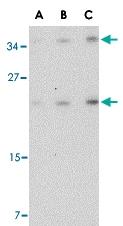 PAB13254 - CD234 / DARC