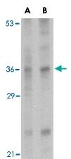 PAB13279 - Interleukin-33 (IL33)