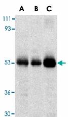 PAB13409 - TRIM5 / RNF88