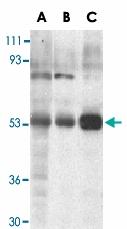 PAB13410 - TRIM5 / RNF88