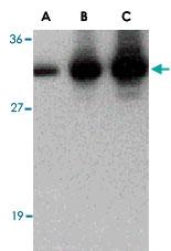 PAB13427 - C1QTNF2