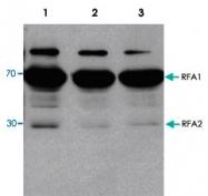 PAB13584 - RPA1/2/3 / RFA1/2/3