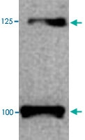 PAB13709 - CD295 / Leptin Receptor