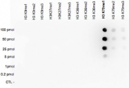 PAB14056 - Histone H3