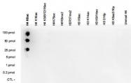 PAB14070 - Histone H4