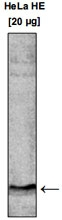 PAB14099 - Histone H3
