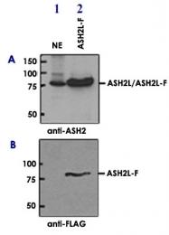 PAB14106 - ASH2L / ASH2L1