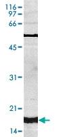 PAB14109 - Histone H3