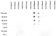PAB14132 - Histone H3