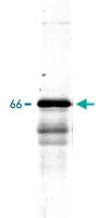 PAB14168 - Alpha-Internexin