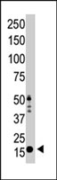 PAB2226 - Histone H3.3