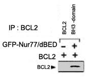 PAB2440 - Bcl-2