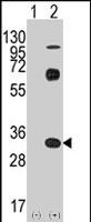 PAB2496 - CD8