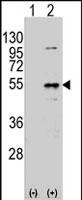 PAB2552 - Dysbindin