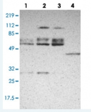 PAB28398 - DGCR14 / DGCR13