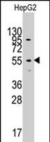 PAB2871 - Cytosol aminopeptidase