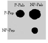 PAB3187 - TNIK